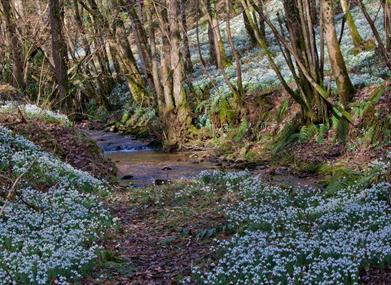 Snowdrops and Steam