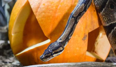 A royal python slithers over a pumpkin